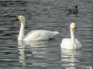 二羽の白鳥