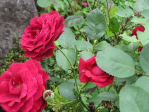 庭先のバラ